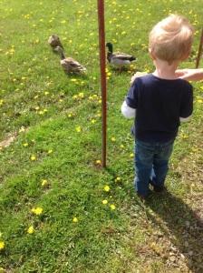 feeding ducks in the neighbor's yard.